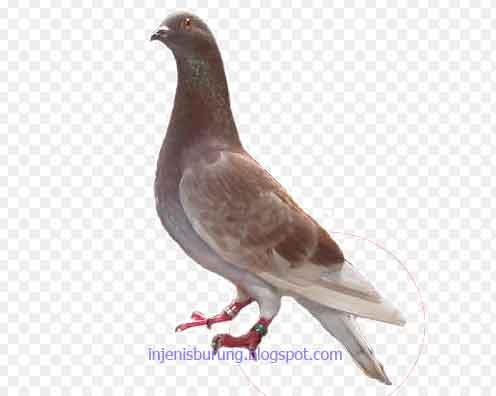 Ekor - jenis burung merpati tinggian yang bagus