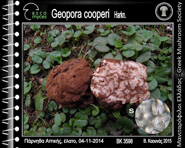 Geopora cooperi Harkn.