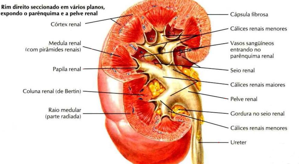 Anatomia Veterinária - VET 103: Órgãos Urinários