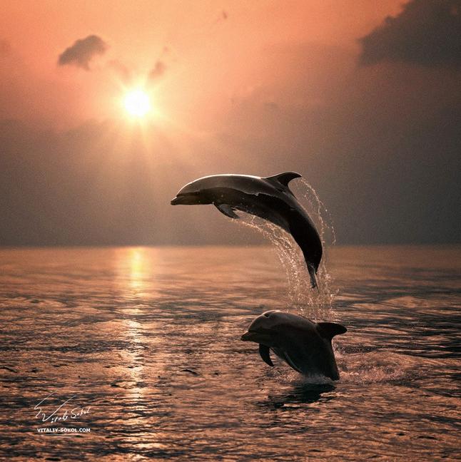 Dolphins and Sunset Desktop Wallpaper