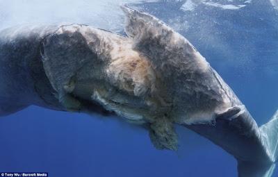 ballena herida por un barco carguero