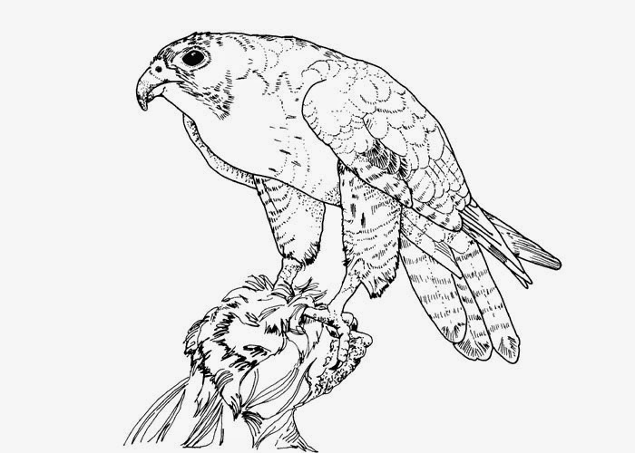 Falcons birds coloring pages 11 together with how to draw Peregrine Falcon step 0 together with Falcon Bird Picture Coloring Pages in addition  also perched peregrine falcon coloring page moreover 4 422 furthermore Falcons birds coloring pages 9 also bird coloring pages perched falcon 821x1024 as well Aplomado Falcon further birds of prey coloring pages free printable coloring pages moreover f90794418fc15bbc4899ada6c3057b9c. on falcon bird coloring pages printable