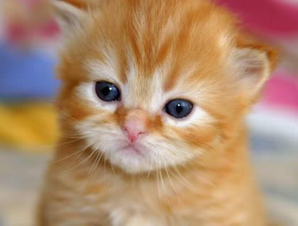 Koleksi Gambar Anak Kucing Yang Sangat Comel
