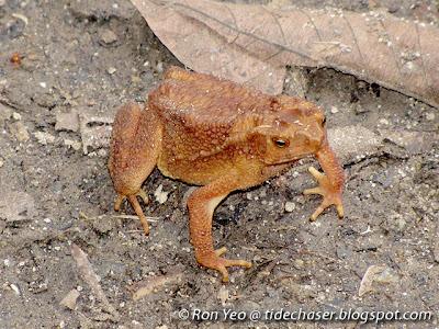 Four-ridged Toad (Ingerophrynus quadriporcatus)