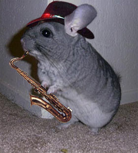 Funny Chinchilla Animal   Facts & Latest Pictures   Funny ...