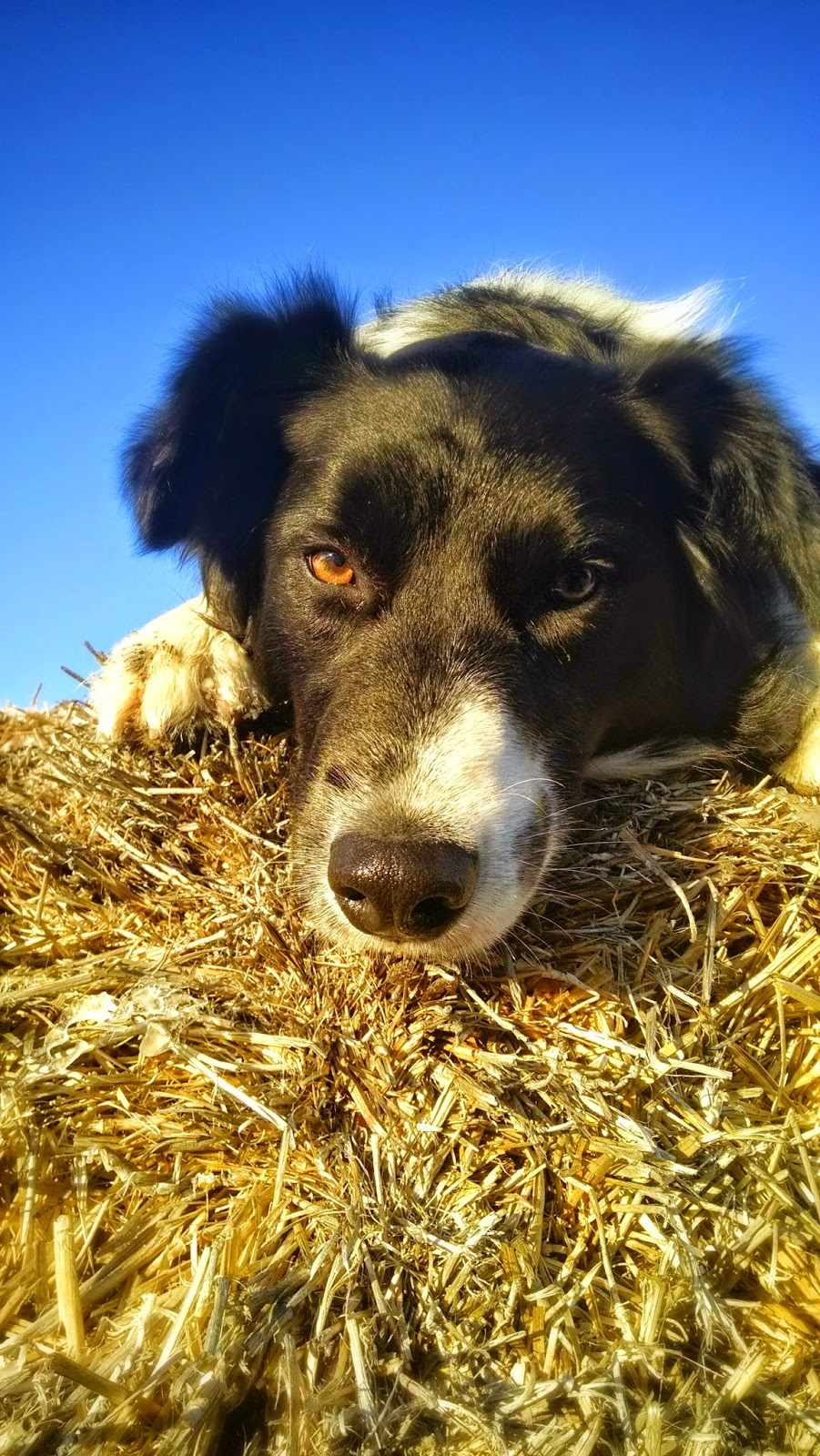 Ali, a rescue dog, border collie breed