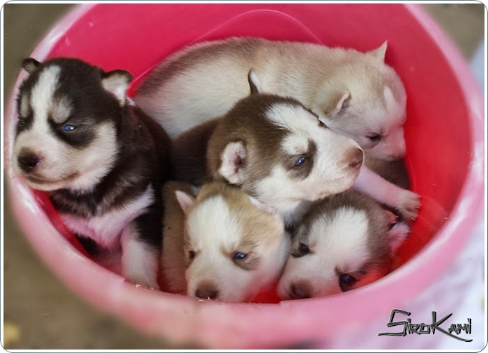 cachorros del sirokami