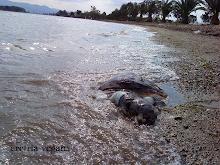 4η νεκρή θαλάσσια χελώνα μέσα στο 2010 στην Ερέτρια. Αιτίες: το ψάρεμα και τα ταχύπλοα σκάφη.