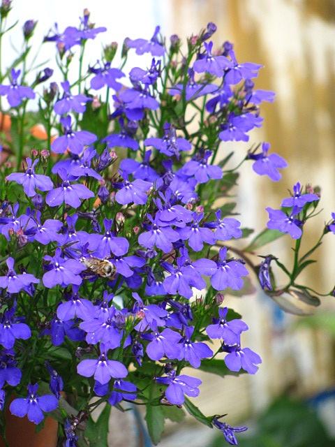 Blue Hortensia: Priča o plavom vrtu..