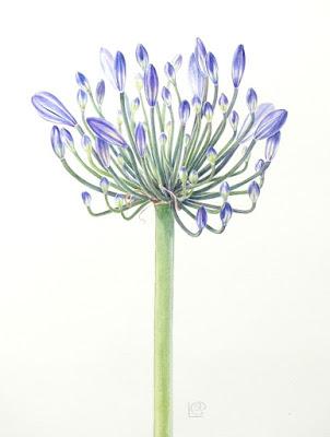 Botanical art Agapanthus study Shevaun Doherty