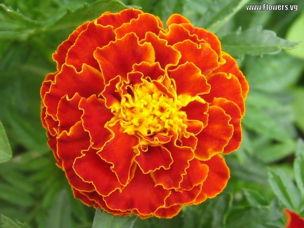 Marigold Flowers Beautiful Flowers