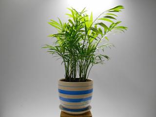 Các loại cây phong thủy trong nhà - Cây cau tiểu trâm