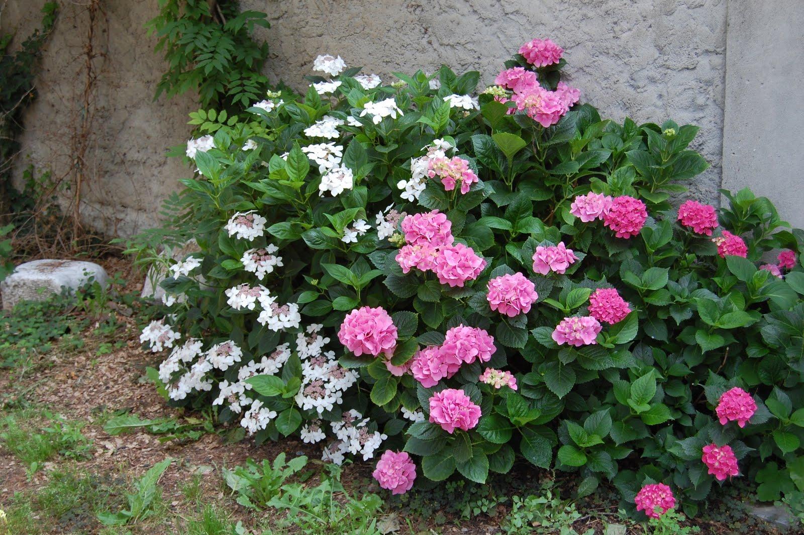 Des histoires simples nel mio giardino for Cespugli fioriti da giardino