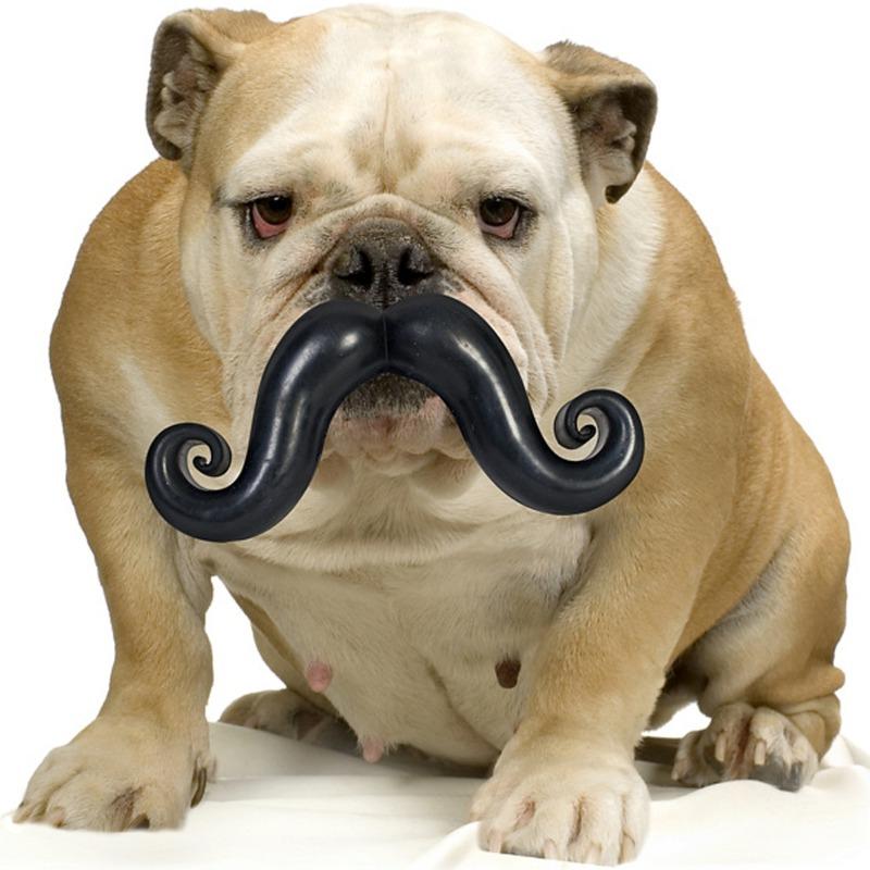 Bulldog med hundelegetøj, bold med sjovt moustache-overskæg