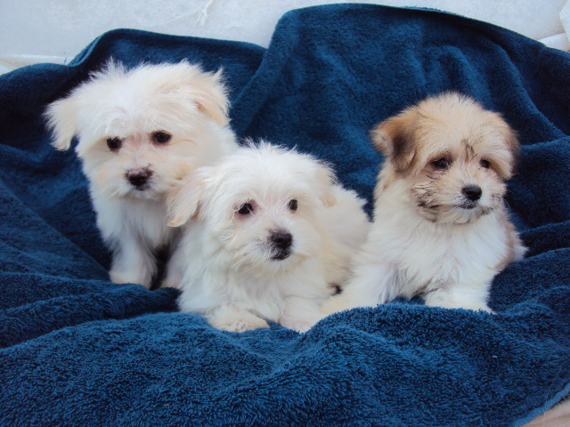 White Yorkie Poo Puppies