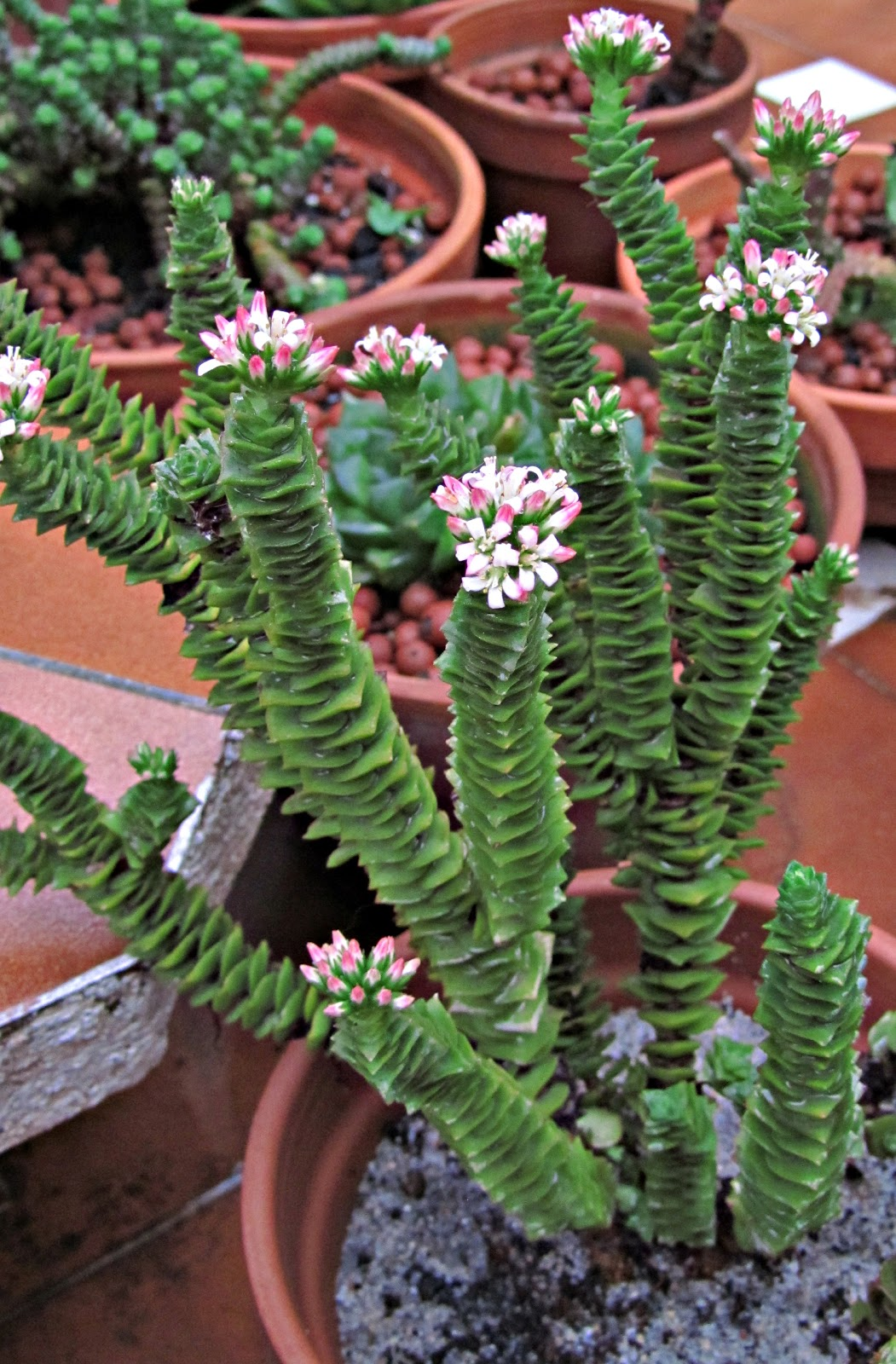 cactus y suculentas bones festes felices fiestas bona