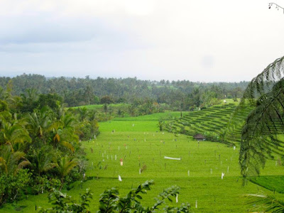 Ricefield view in Ubud Bali Indonesia