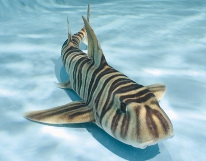 Zebra Bullhead SharkZebra Shark