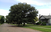 Bur Oak in North Platte.