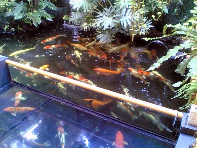 Jenis dan Fungsi Kolam Ikan Koi - Tutorial Cara Budidaya
