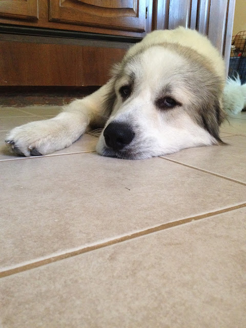 Badger Great Pyrenees Face Lips Nose Eyes Mix Dog