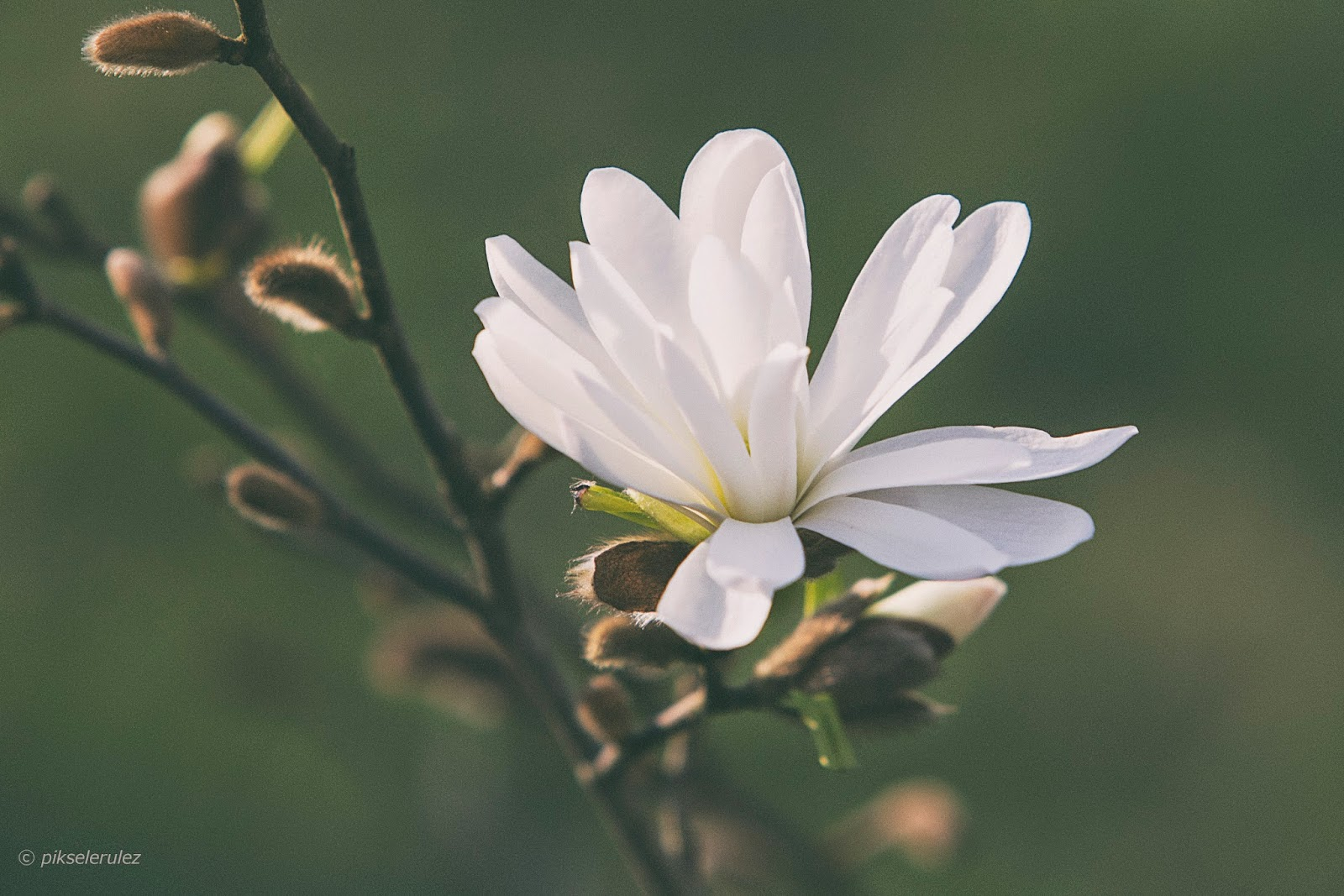 wiosna, sprong, towarszysz wiosny, agata raszke, pikselerulez, fotografia, natura, flowers,