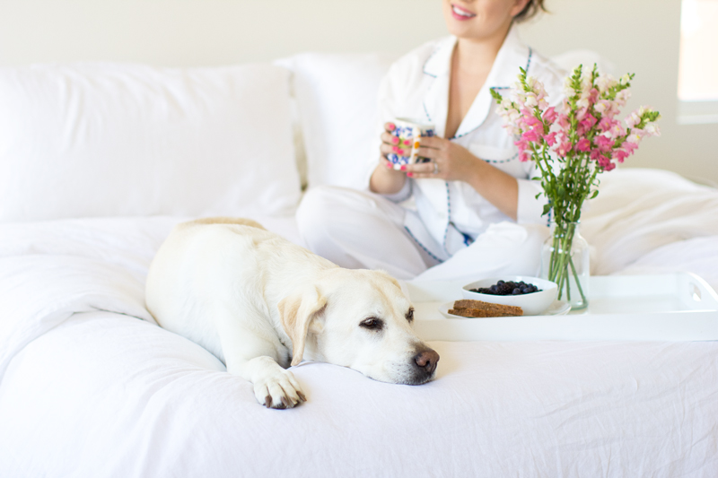 Labrador retriever, white bedding