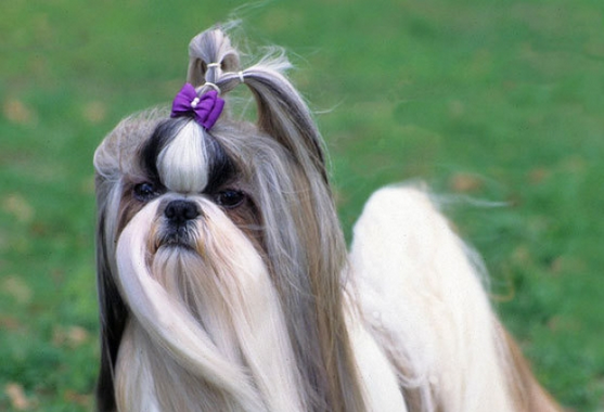 Xuanxuan Dog Grooming Tips Shih Tzu Haircut Styles