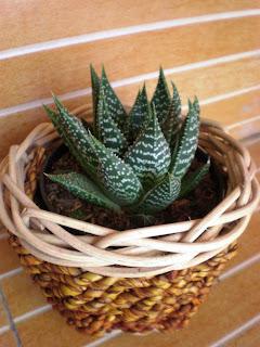 souvenir, kaktus, mini, cantik, murah, meriah, semarang