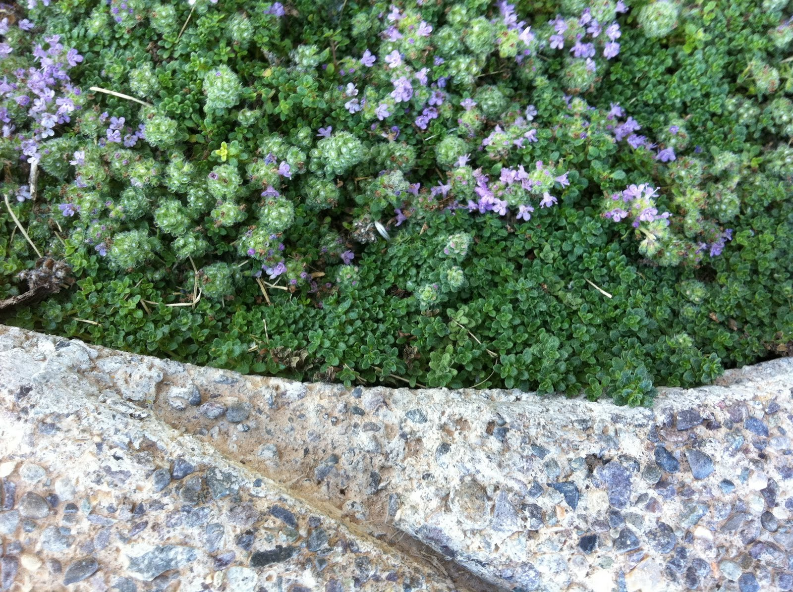 teeny tiny leaves of elfin thyme in the foreground wooly thyme moving ...