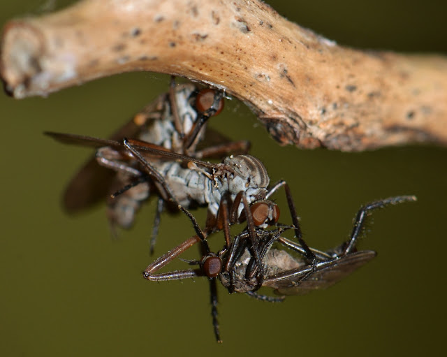 pair of mating dance flies holding prey