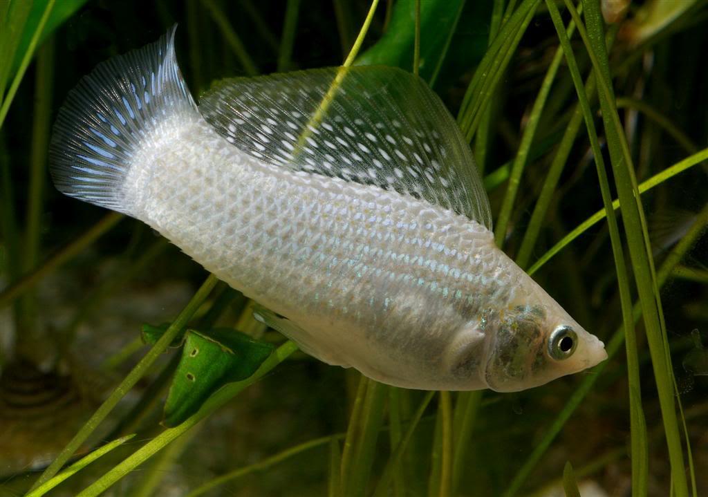 We Next...: Aquarium Fish : Molly