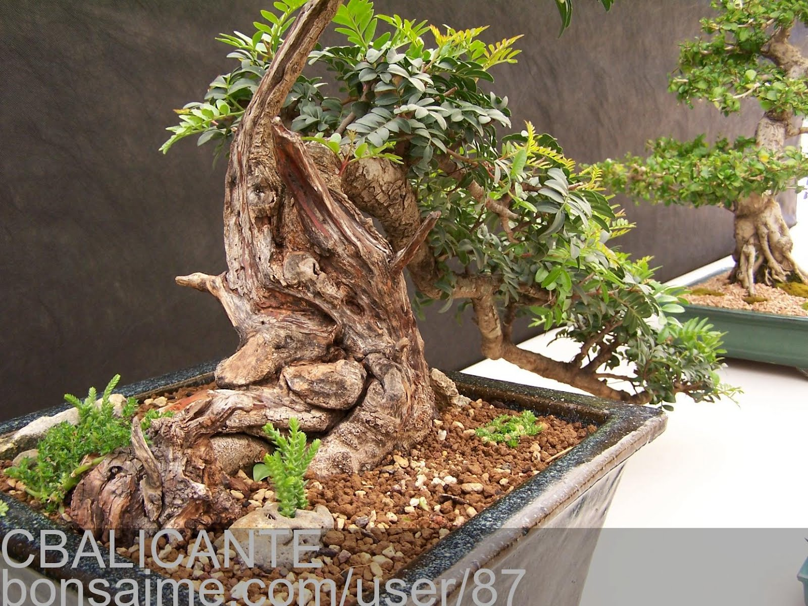 Todo jardines bonsai de lentisco for Bonsai de jardin