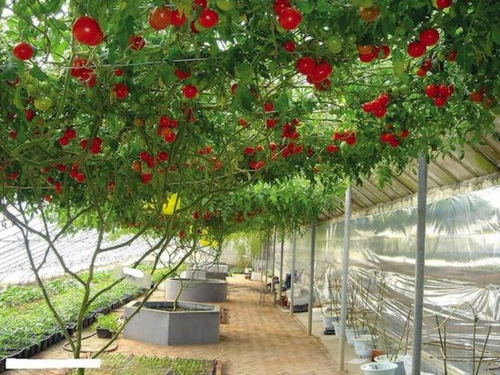 Giant Tomato Tree ~ Must See how To? Sadnja