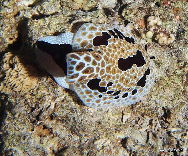 голожаберный моллюск Морской заяц коричневый фото