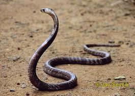 cara mengatasi gigitan ular berbisa