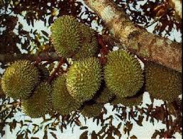 benefits of durians for health