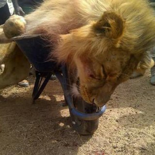 Escaped Jos Wild Life Park lion killed