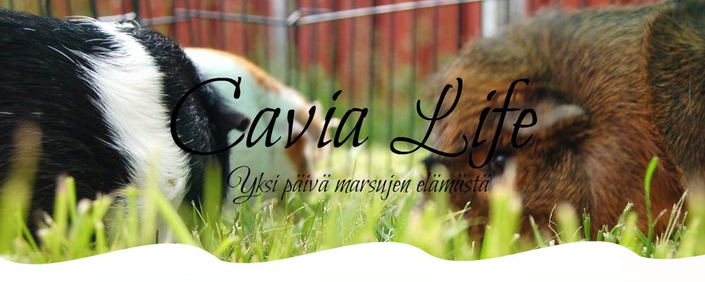 cavia life