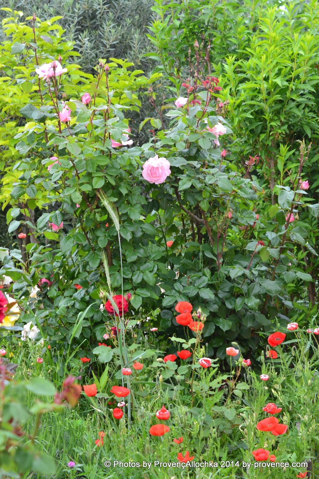Rose, Queen ,Elizabeth