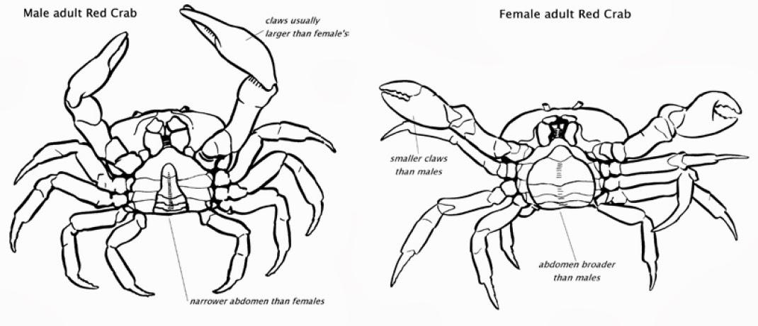 Instituto De Biologia Ingenieria De Ecosistemas Annual Red Crab