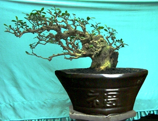Bonsai Bondowoso: Galeri Bonsai