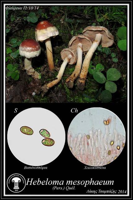 Hebeloma mesophaeum var. mesophaeum (Pers.) Quél.