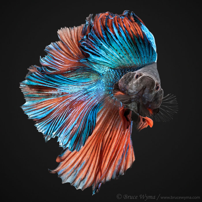 All About Betta Fish 2017 Dont Keep Betta Fish In Vases