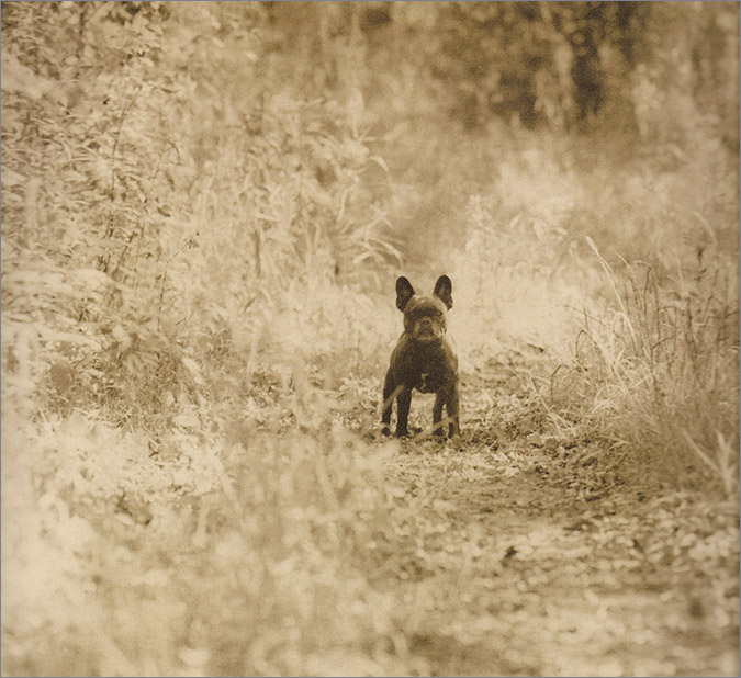 Notes from the Pack - a dog blog. A French bulldog.
