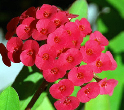 Euphorbia flower - search in pictures