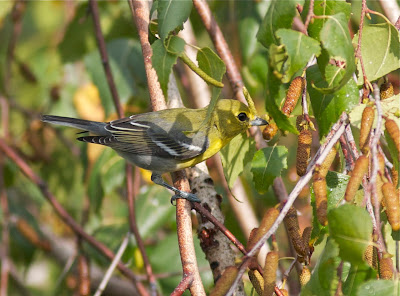 Yellow throated vireo fall - photo#15