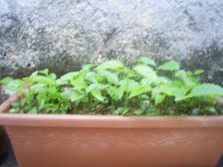 Como Plantar Sementes de Ipês Rosa,Roxo,Amarelo,Etc. 12