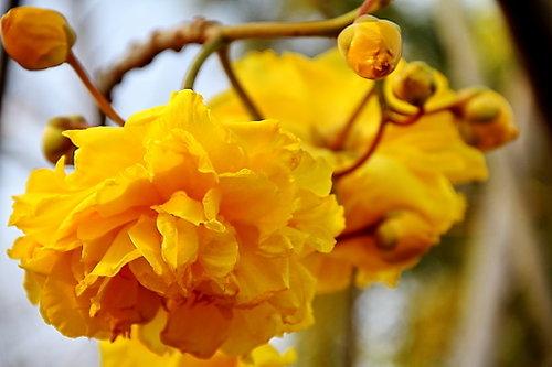 ดอกไม้ประจำจังหวัดนครนายก