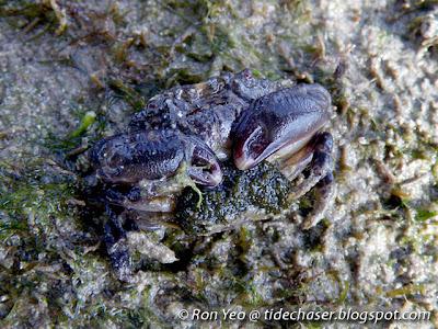 Rock Crab (Leptodius sp.)